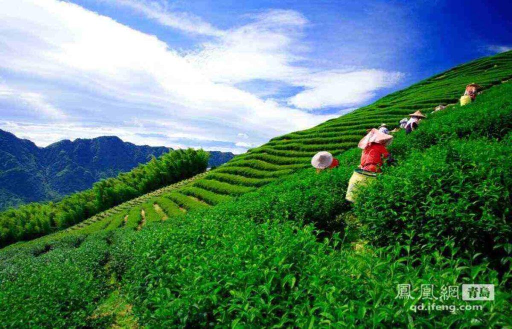 Чай Улун 乌龙茶